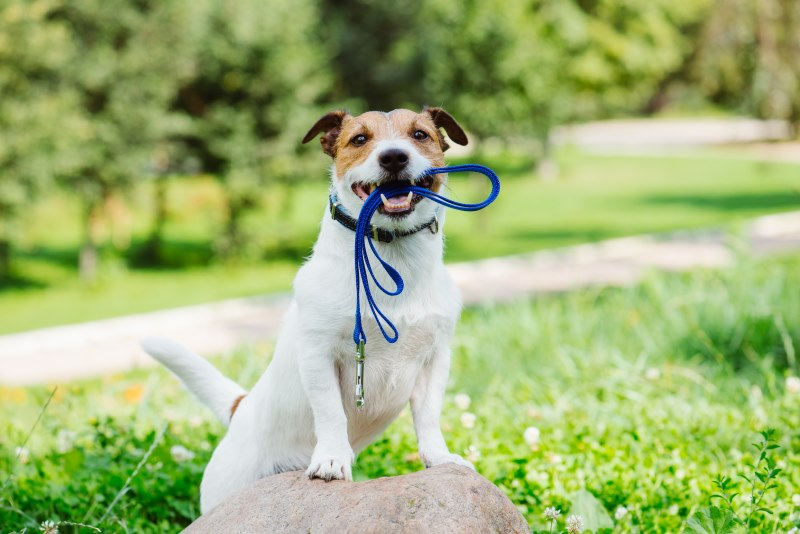 Jack Russell Terrier with leash in mouth with park view at background